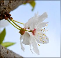 Flower portraits: Cherry by Bambr