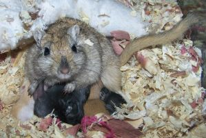 gerbil momma 11-2010 by wiccanwitchiepoo
