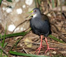 Blackish Rail by BrunoDidi