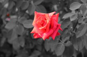 red rose by 1uiza