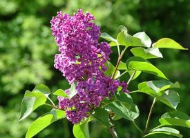 Lilacs by thistle-t