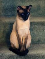 Seal Point Siamese by photoboater
