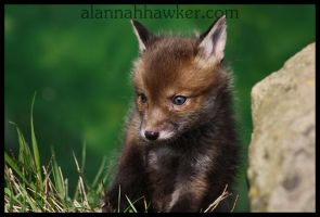 Fox Cub by Alannah-Hawker