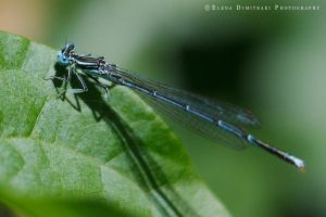 Dragonfly by Elena-Elendim