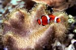 Coral Clownfish by TheSleepyRabbit