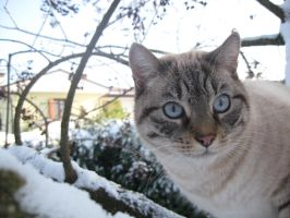 Snoww Cat by Nipol