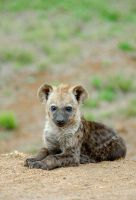 Hyena by Fancy-Cat