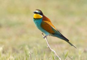 Where are the bees? - European Bee-eater by Jamie-MacArthur