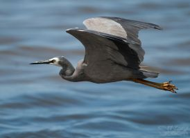 White faced Heron 06 by 88-Lawstock