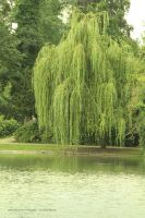 The Weeping Willow by Cocotte-Vero91