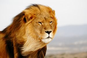 Barbary Lion by fauxpasgrapher