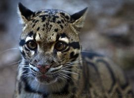 Clouded Leopard by ST77