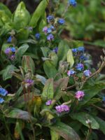 Fading Forget-Me-Nots by botanystock