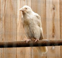 Rare white raven 1 by DarkBeforeDawn23