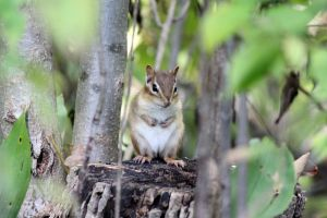 Cute Chipmunk by AstNav