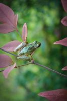 Tree Frog by PhotogMommy
