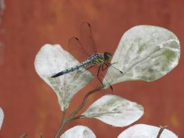 Dance of The Dragonfly by Dreyco