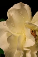 Rose at the End of the Day 172 by JeanLuc44