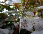 Stock - Dragonfly by GothicBohemianStock