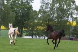 Geldings Cantering on Pasture by LuDa-Stock
