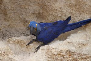 Hyacinth Macaw 2 by Skarkdahn