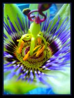 Passion Flower by mjharps