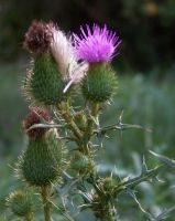 Autumn Thistles I by MadGardens