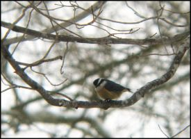 Nuthatch by StormPetral0509