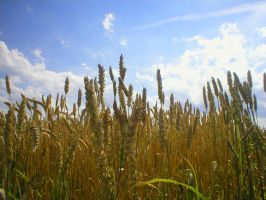 Landscape stock 46 cereals by Finsternis-stock