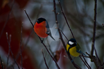 Winter Birds by CJacobssonFoto