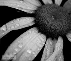 Flower Petals and Raindrops by Jenn-b-photography
