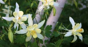 Columbines... by 1001G