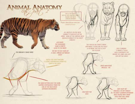 Animal Anatomy - Cats Part 1 by akeli