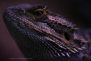 Bearded Dragon by mattTIDBALL
