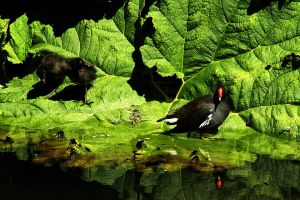 Moorhen with Chicks by EarthHart