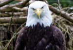 Bald Eagle by nigel3