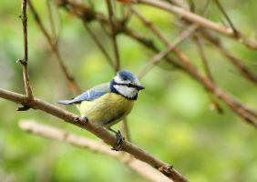 Blue tit in my backyard by JetteReitsma