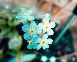 Forget-me-not by MrsMichaelis
