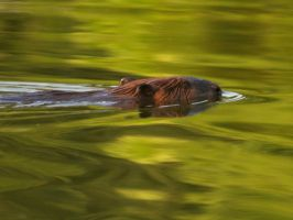 flowing beaver by photom17