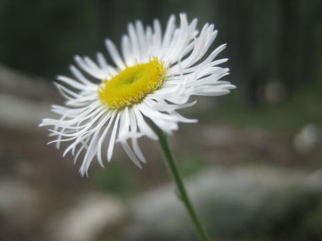 Daisy girl by silverstone33