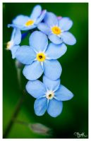 forget-me-not V by PajonK