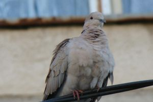 Pigeon_after the rain by Doix