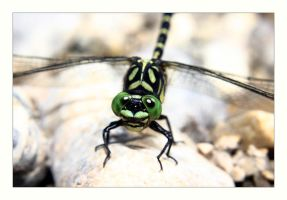 Onychogomphus forcipatus by marble911