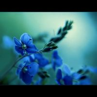 BLUE FLOWERS by AdrianaKH-75