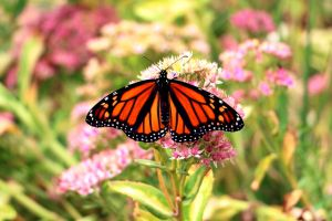 Monarch Butterfly #3 by Aroha-Photography