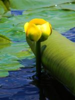 Lilly Pad by DeniseSchingeck
