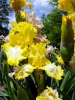 Yellow Bearded Iris by Daniel-Storm