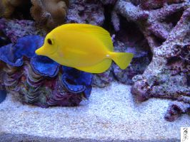 Yellow Tang over Crocea Clam by The-Dude-L-Bug