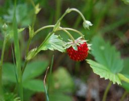 Wild strawberry by Shiridanya