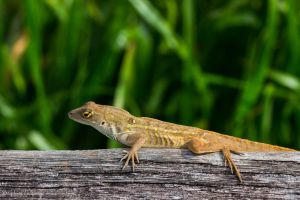 Anole ribs :-) by CyclicalCore